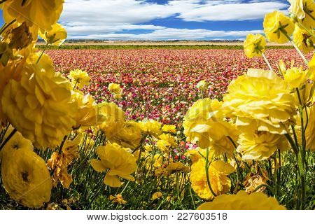 Magnificent field of flowering colorful buttercups. Lush clouds fly over the fields. Concept of ecological and rural tourism