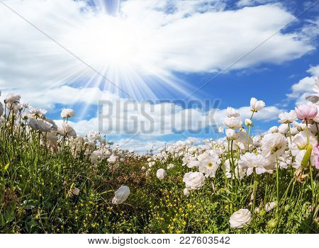 Magnificent field of flowering white buttercups. Spring flowering. The picture is made by the fisheye lens. Lush cumulus clouds fly over the fields. Concept of ecological and rural tourism