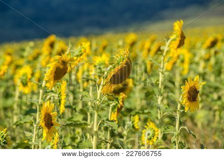 Field With Sunflowers On A Sunny Day