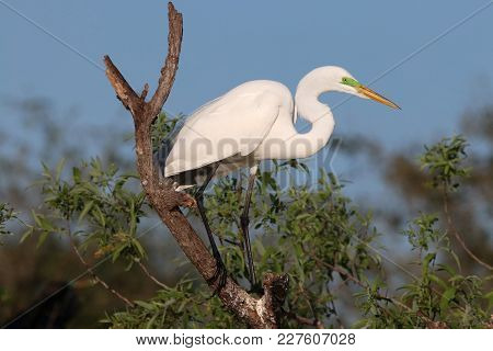 A Great Egret, Ardea alba in breeding plumage at the Venice, Florida rookery