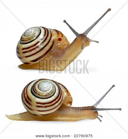 Striped snail on white background