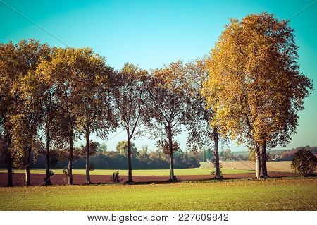 Very Nice Trees With Yellow Leaves In The Countryside, Vintage Effect