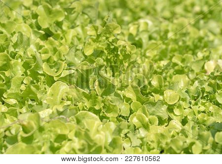 Lettuce In Hydroponic Vegetable Plant