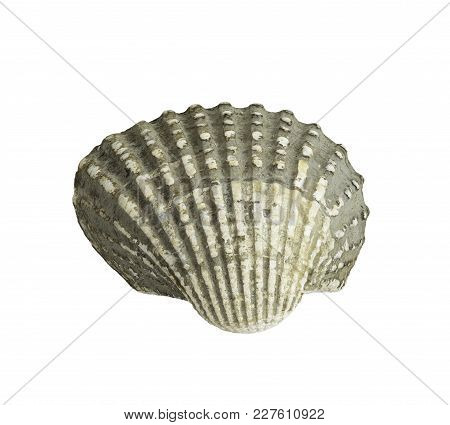Scallop Shall Isolated On White