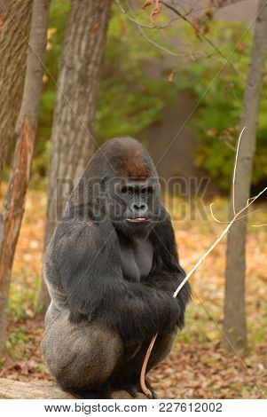 A Large Silverback Gorilla Sitting On A Fallen Tree Holding A Stick.
