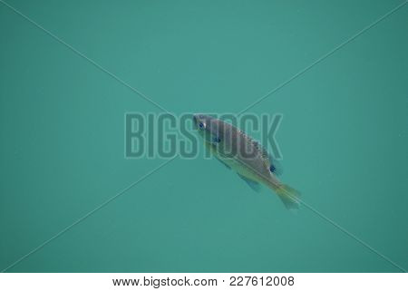 An Average Sized Bluegill Fish Swimming In Emerald Colored Water.