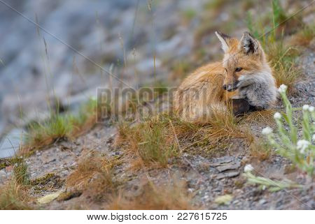 Young Red Cascades Fox Perched On Hillside With Copy Space To Left