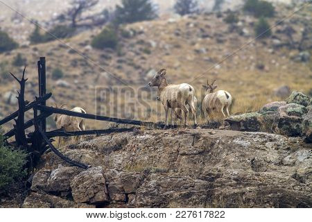 Bighorn Sheep In Wyoming; Ewes On Rocks With Fence