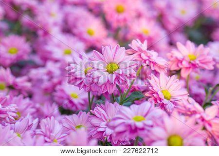 Chrysanthemum Pink Flowers In A Beautiful Garden