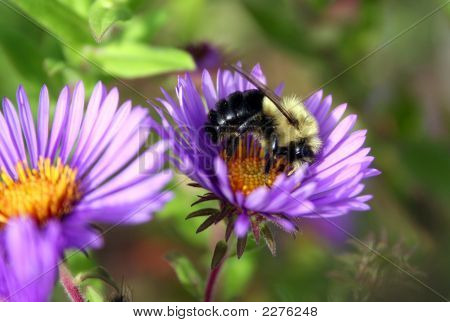 Bee On Purple Daisy
