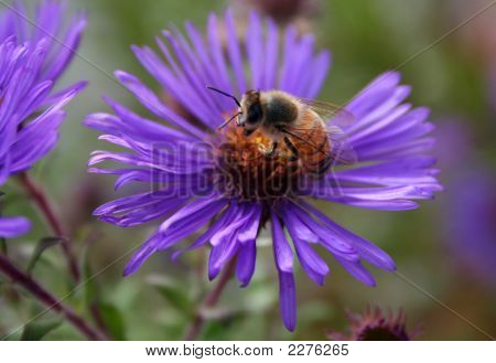 Honey Bee On Blue