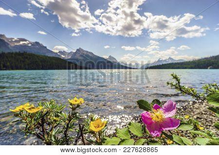 Blooming Wild Rose And Yellow Potentilla By Medicine Lake, Jasper National Park. Alberta, Canada