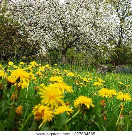 Apple Tree And Dandelions Flowers