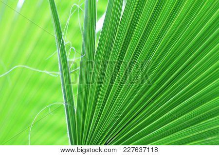 Palm Tree Leaves Texture