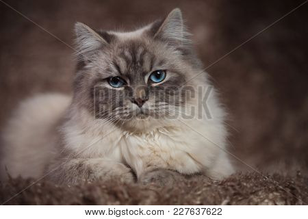 amazing cat with blue eyes lying on a furry background in studio