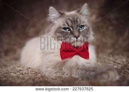 elegant beautiful cat wearing red bowtie is lying down on furry brown studio background