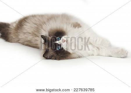 Fluffy Beautiful White Cat Of A Neva Masquerade With Blue Eyes Posing Lying On A Studio White Backgr