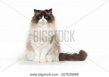 Fluffy Beautiful White Cat Ragdoll With Blue Eyes Posing While Sitting On Studio White Background. C