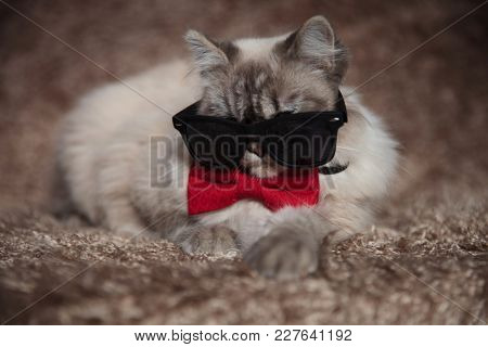 cool gangster cat wearing sunglasses and red bowtie is lying down on a furry studio background