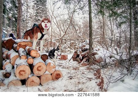 Husky Dogs Stands On Logs Felled In A Winter Snow-covered Forest. Siberian Husky Is Black-white And