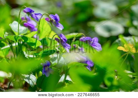 Flowers Of Violets In The Forest Among The Greens, A Fine Spring Day