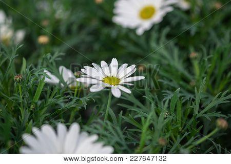 Wild White Chrysanthemum Flower Growing In Greenhouse