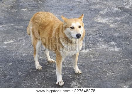 Portrait Of A Sad Red Dog On A Background Of Asphalt