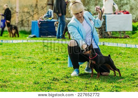Gomel, Belarus - 29 April, 2017: Black Miniature Pinscher Zwergpinscher, Min Pin Standing Next To Hi