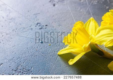 Easter Fresh Yellow Daffodil Flowers Close Up On Gray Background