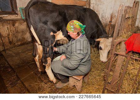 Woman Is Milking A Cow In Dairy-farm.