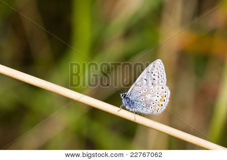 a common blue butterfly polyommatus icarus resting on a dry grass stem poster