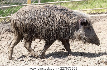 Wild Boar In A Park On The Nature .