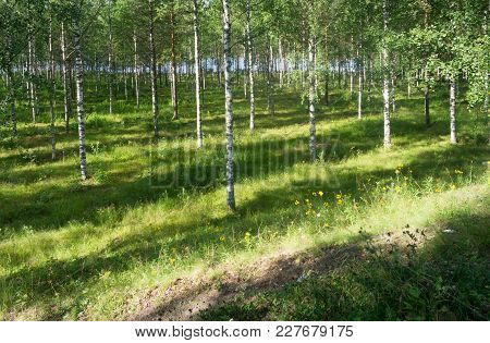 Rays Of Sunlight In The Birch Grove Near The River