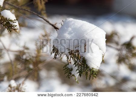 Snow On Conifers In Nature . In The Park In Nature