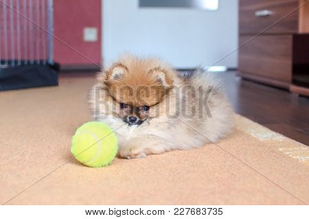 Pomeranian Puppy, Small Dog With A Ball, Playing At Home