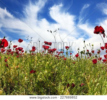 Early spring in Israel. Anemones of the family of buttercup. Walking on a warm spring day. A bright blue sky and flying clouds on a warm spring day. Concept of ecological and rural tourism