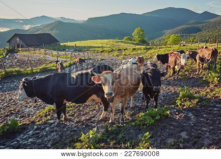 Alpine Cow. Cows Are Often Kept On Farms And In Villages. This Is Useful Animals. Cows Give Milk Is