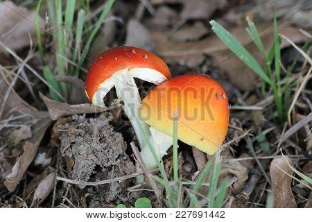 A Small, Orange Amanita Jackson Mushroom Has Split In Half, Showing Its Inner Flesh, As It Grows Out