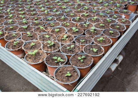 Plantation Flower Sprout In A Pot . Commercial Cultivation Of Flowers In A Greenhouse