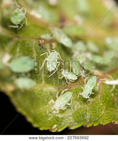 Aphids On A Leaf In The Nature. Macro .