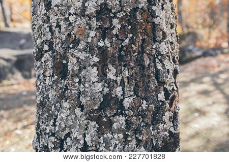 Oak Tree Trunk Texture And Background With Moss And Lichen. Mossy Bark Tree Texture. Abstract Textur