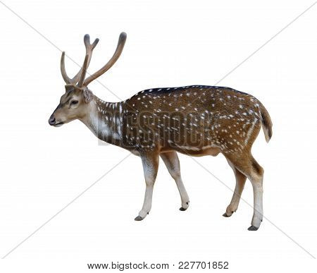 Male Spotted Deer Isolated On White Background With Clipping Path.