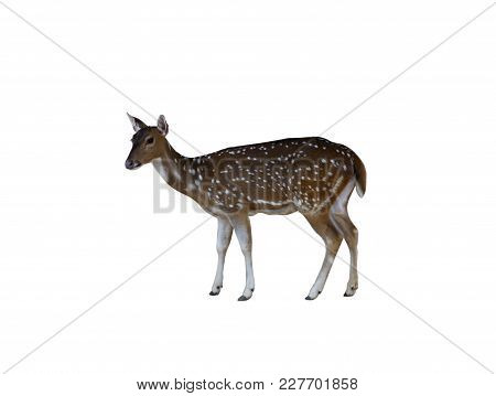 Female Spotted Deer Isolate On White Background With Clipping Path.