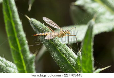 Large Mosquito On A Green Plant. Macro .
