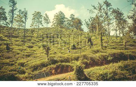 Ella, Sri Lanka - Jan 3, 2017: Some Workers On Tea Plantation At Rural Hills Landscape On January 3,