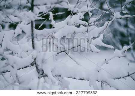 Beautiful Winter Woods, Close Up Tree Brunches Covered With Snow On White Natural Background