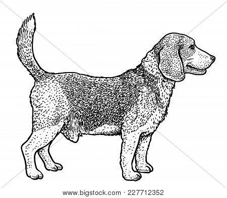 Beagle Illustration, Drawing, Engraving, Ink, Line Art