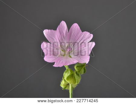 Colorful And Crisp Image Of Musk Mallow On Gray Background