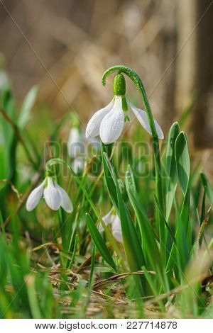 Beautiful Snowdrop On Sunny Spring Forest Glade With Bokeh Background.