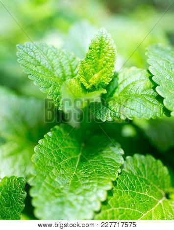 Green Mint Leaves In Nature . In The Park In Nature
